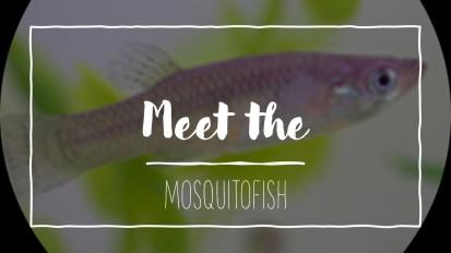 Meet the Mosquitofish!